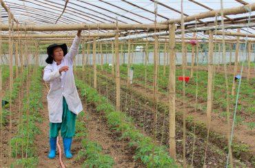 Woman on tomato field